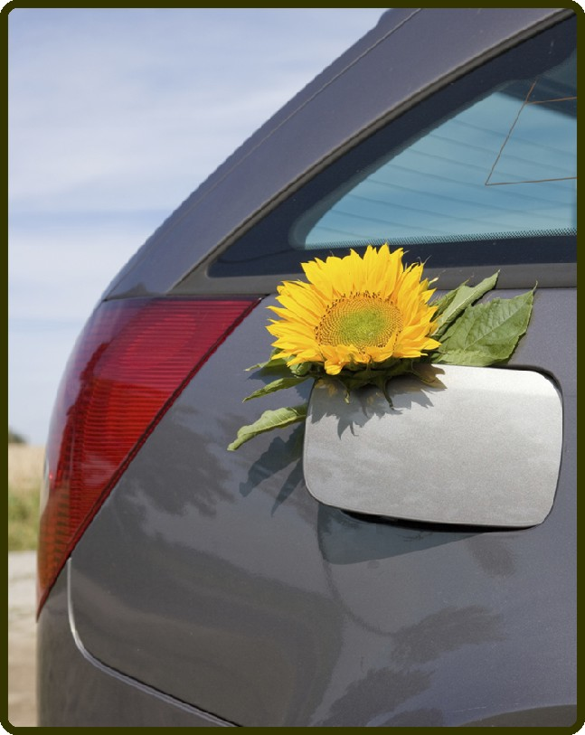 Sunflower Resting in Gas Tank Door